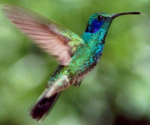 Sacha Q'ente (colibrí de la selva)